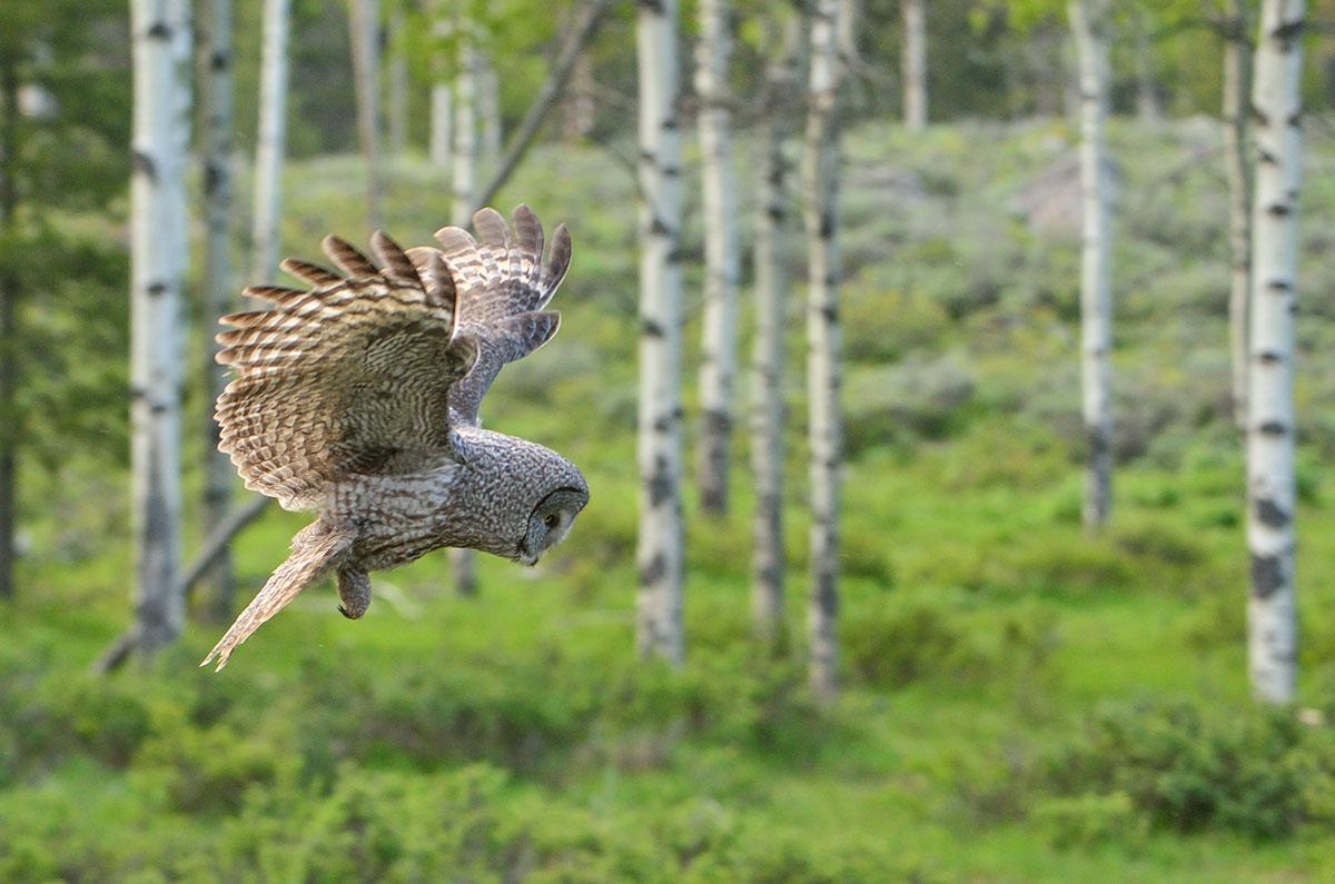 Great-gray Owl in Flight